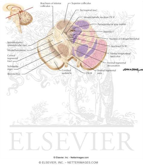 Midbrain - Level of the Superior Colliculus