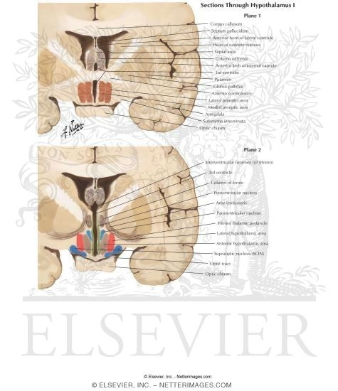 Illustration of Sections Through Hypothalamus I: Planes 1 and 2 from the Netter Collection