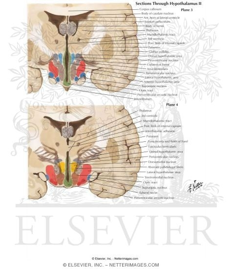 Illustration of Sections Through Hypothalamus II - Planes 3 and 4 Sections Through the Hypothalamus - Tuberal Zone from the Netter Collection
