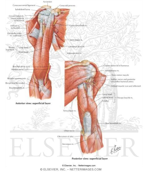 Muscles of the Upper Arm