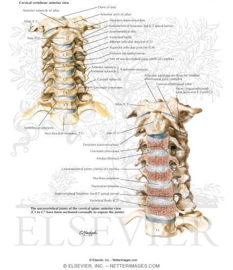 Uncovertebral joint anatomy