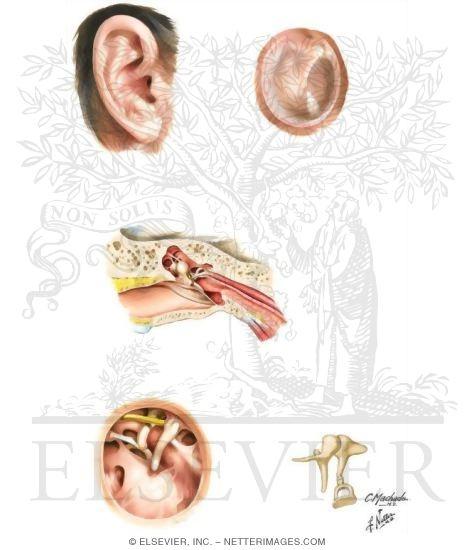 External Ear and Tympanic Cavity