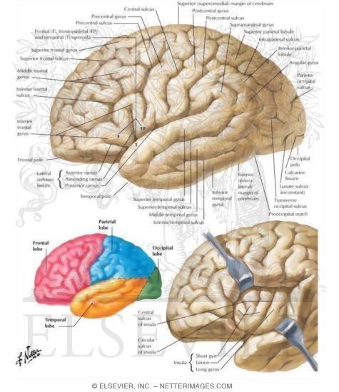 Cerebrum Lateral Views Organization Of The Brain Cerebrum
