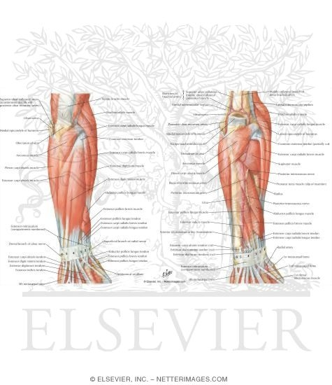 Muscles of Forearm With Arteries and Nerves (posterior View)