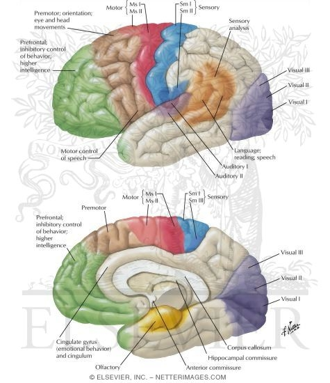 cerebral cortex: localization of function and association pathways, Human Body