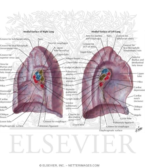 Lungs Medial Views Medial Surface Of Lungs