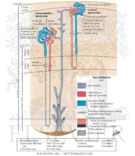 Anatomy of the Nephron Nephron and Collecting Tubule: Schema The Nephron