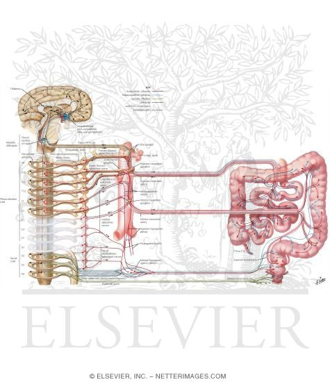 Illustration of Autonomic Innervation Innervation of Small and Large Intestines: Schema Nerve Supply of Small and Large Intestines from the Netter Collection