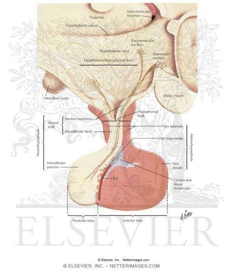Cura di ernie di vertebre di un collo