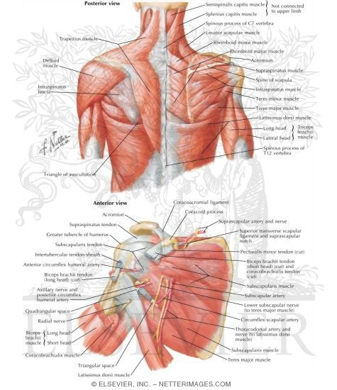 back and scapula region, Human Body
