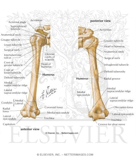 Anterior And Posterior View Of The Humerus