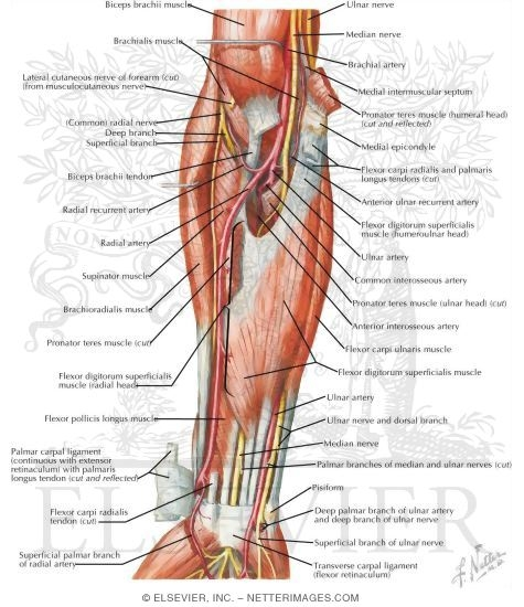 Muscles Of Forearm Intermediate Layer Anterior View
