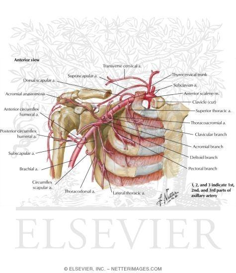 artery and anastomoses around scapula, Human Body