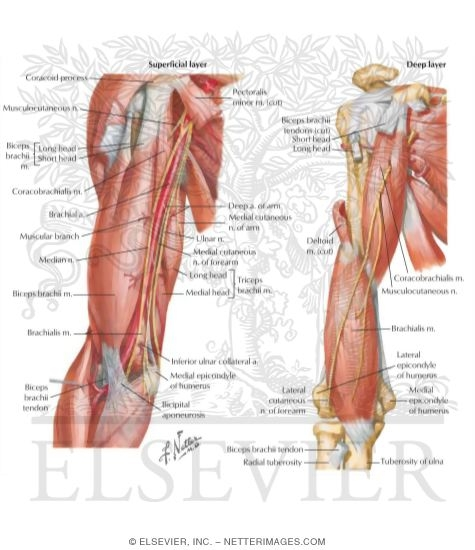 arm: anterior compartment muscles and nerves, Human Body