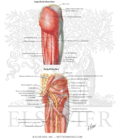 Hip and Gluteal Region: Muscles