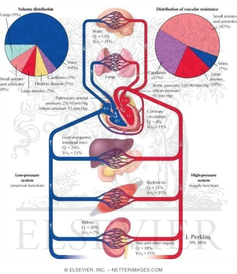 Cardiovascular System Overview