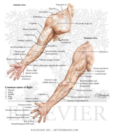 Upper Limb Surface Anatomy