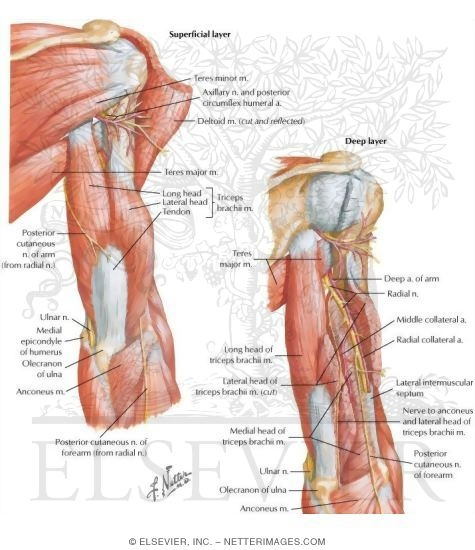 Arm Muscles Anatomy Diagram Nerves Wiring Diagram For Light Switch