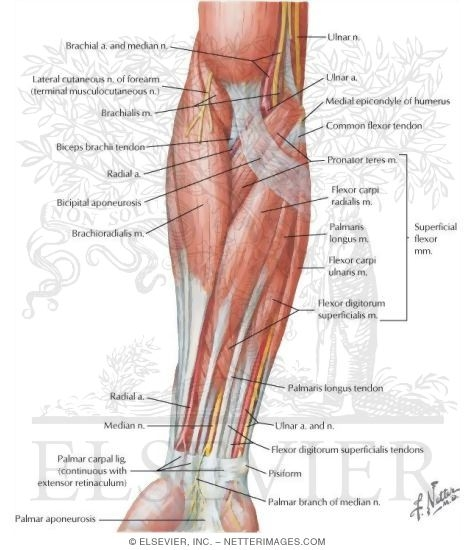 Muscles of Forearm (Superficial Layer): Anterior View
