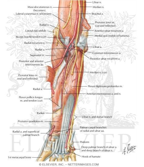 Arteries, Nerves, and Muscles of Upper Limb (Anterior View) Muscles ...