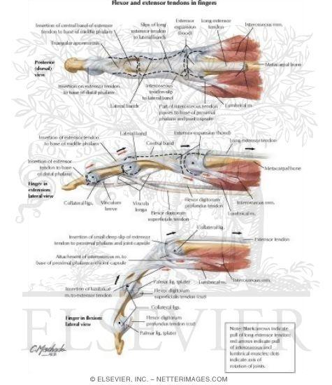 Flexor And Extensor Tendons In Fingers