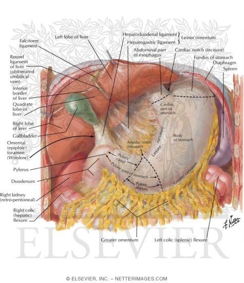 stomach, liver, and gallbladder  stomach diagram netter's #2