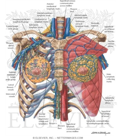 Surface Anatomy: Lymphatics and Vessels of the Breast