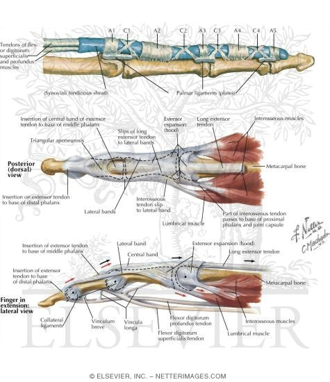 Other Structures Flexor Tendon Sheath And Pulleys
