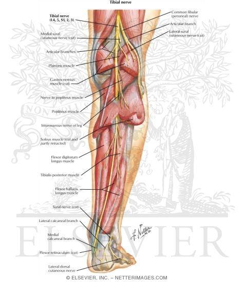 Tibial nerve; Medial Plantar Nerve; Posterior Tibial Nerve