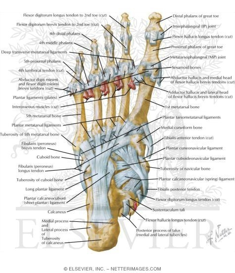 Tendon Insertions And Ligaments Of Sole Of Foot