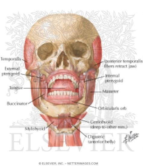 Musculature of the Temporomandibular Joint
