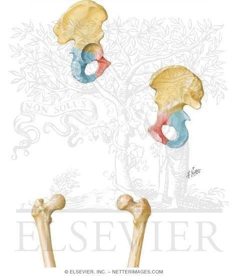 hip (coxal) bone and femur, Cephalic Vein