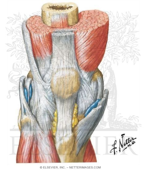 muscles of knee, Human Body