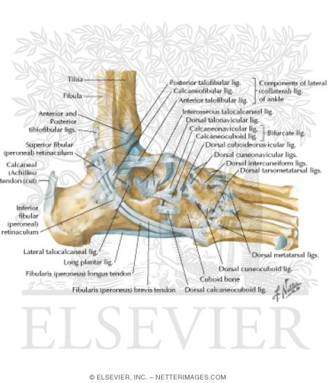 Ligaments Of Ankle