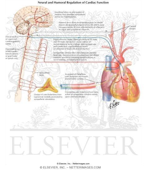 Sympathetic and Parasympathetic Regulation of Heart Function