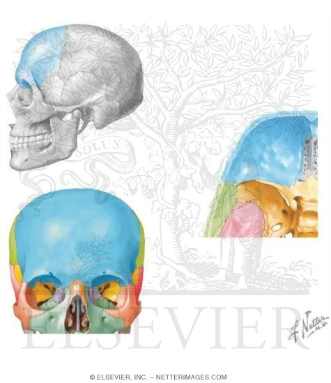 Of The Skull Frontal Bone