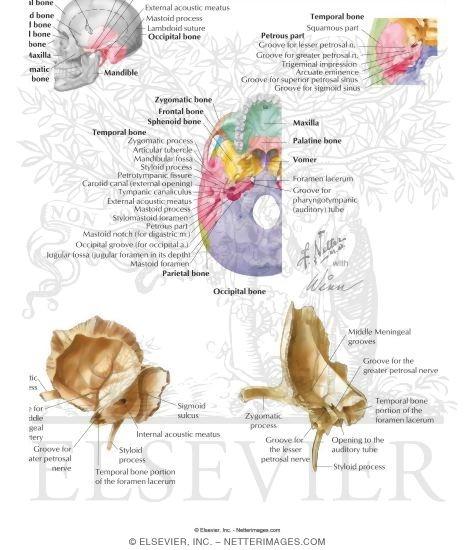 of the skull: temporal bone, Sphenoid