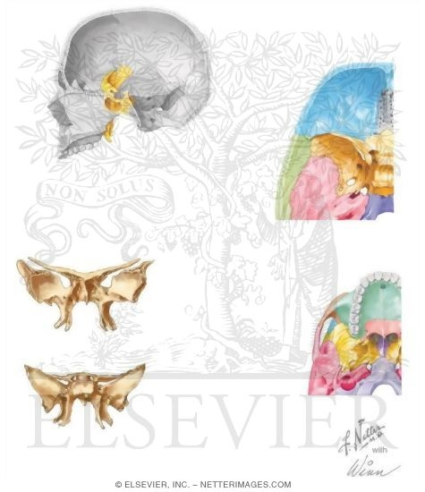 of the skull: sphenoid bone, Human Body