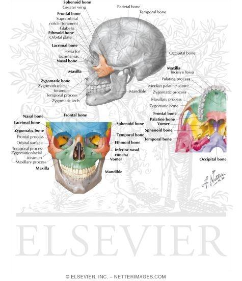 Bones Of The Skull Zygomatic Bone Zygoma