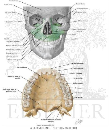 II. Osteology. 5b. 2. The Maxillæ (Upper Jaw). Gray, Henry. 1918 ...