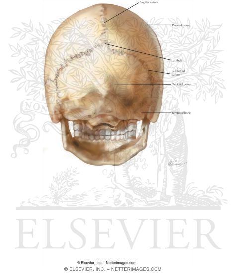 Illustration of Views and Sutures: Norma Occipitalis from the Netter Collection