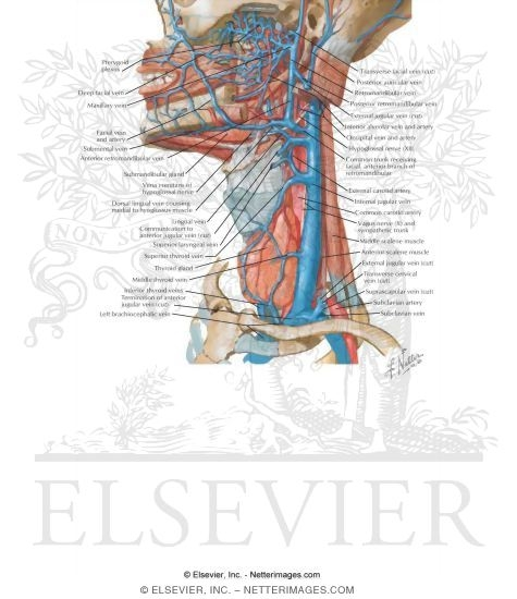 Vascular Supply Of The Neck Venous Drainage