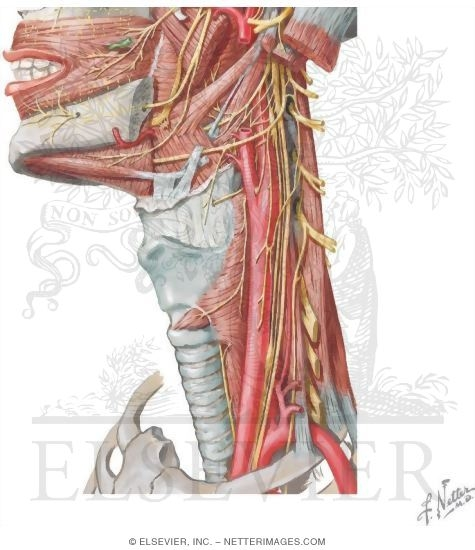 Nerve Supply Of The Neck Cranial Nerves Of The Neck