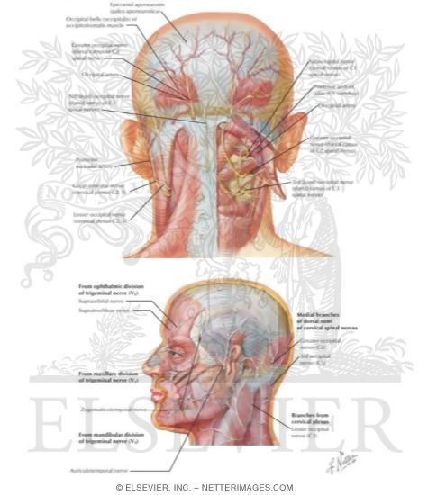 Nerve Supply of the Scalp: Sensory Distribution