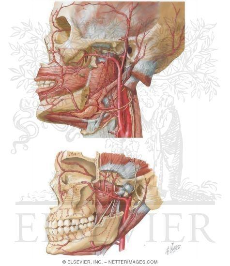 Vascular Supply of the Face: Arterial Supply
