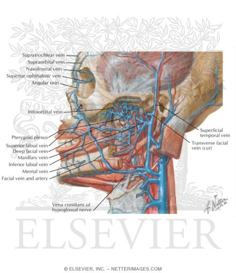 Vascular Supply of the Face: Venous Drainage