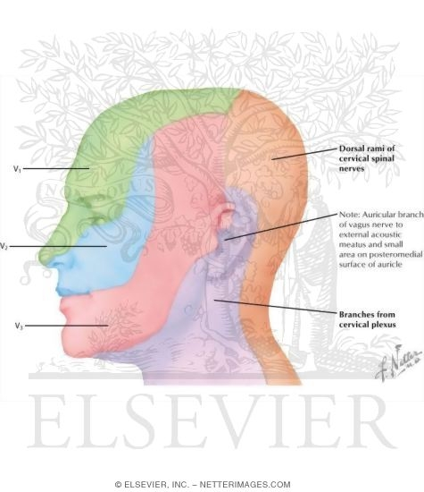 Illustration of Nerve Supply of the Face: General Information from the Netter Collection