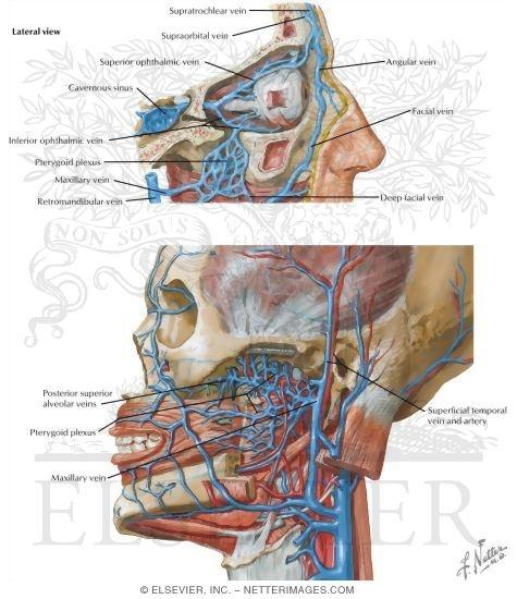 Infratemporal Fossa: Vascular Supply