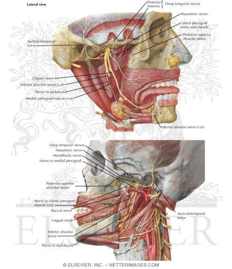 Infratemporal Fossa: Nervous Structures