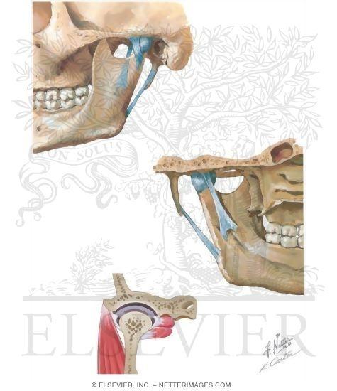Anatomy Of The Temporomandibular Joint